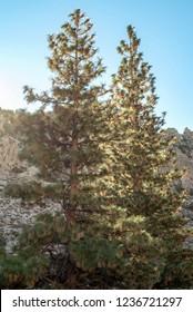 two pine trees in sunlight, Eastern Sierra Nevada mountains, California, USA