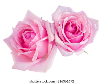 two pink blooming roses  isolated on white background