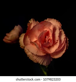 Two pink Camelia flowers, on black background, top side view. Generally, pink camellias symbolize a longing for someone and is given to someone who is missed