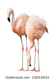 two pink flamingo isolated on white background