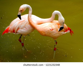 Two pink flamingos are hugging