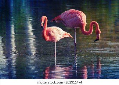 Two pink flamingos standing in the water with reflections. Stylized photo with colorful tonal correction old style filter effect