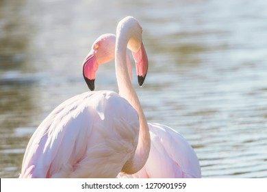 Two pink flamingos walking in the water  in natural environment