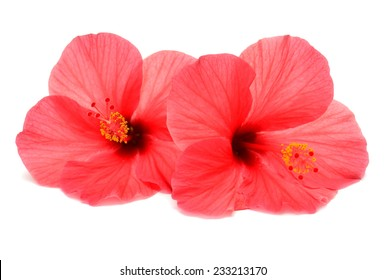 Two pink hibiscus isolated on white background