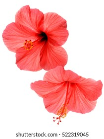 Two pink hibiscus isolated on white background. Flat lay, top view