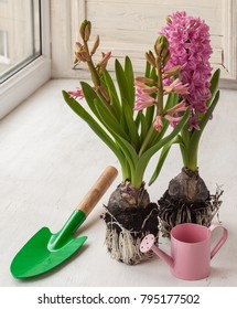 Two pink hyacinth with roots for planting in a pot next to a decorative watering can