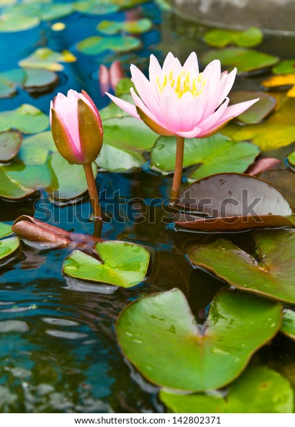 Two pink lotus blossom and bud growth, which are both above the water beautifully.
