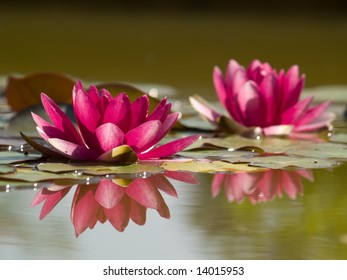Two pink Lotus Flowers in Pond with Reflection