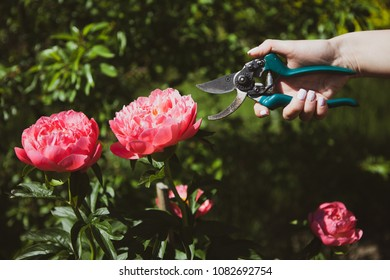 Two pink peonies and a sikator in a female hand on a grassy green background. Concept work in the garden.