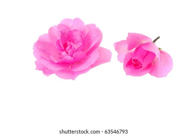 Two pink roses on white