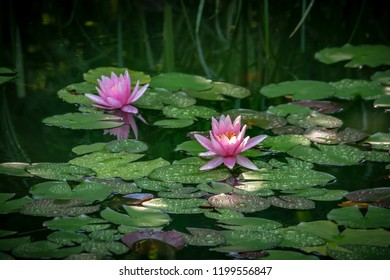 Two pink water lilies 'Marliacea Rosea'  in a pond on a background of green leaves. One nymphaea with drops of water on the petals is reflected in the water. The second nymphaea catches sunlight