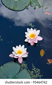 two pink water lilies in a pond