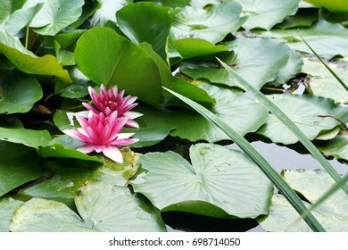 Two pink waterlilies in a pond surrounded by lily pads