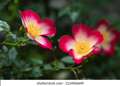 Two pink and white climbing rose flowers with yellow centers, dark green blurred plants background.