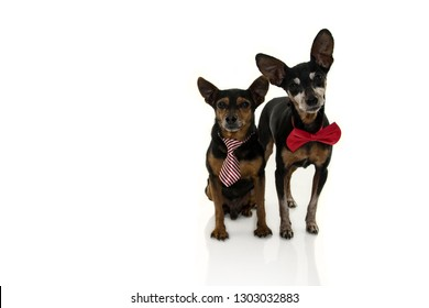TWO PINSCHERS DOGS WITH RED BOW TIE ISOLATED ON WHITE BACKGROUND.