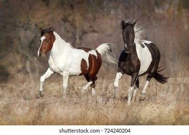 Two pinto horse trotting in autumn landscape