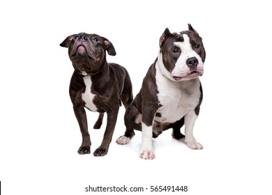 two pit bull dogs in front of a white background