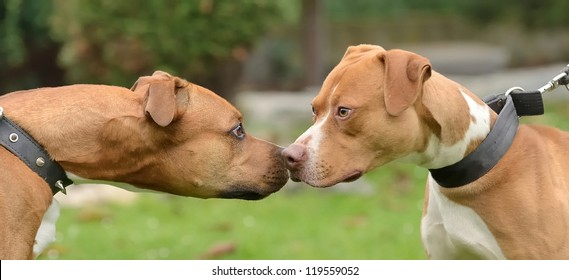 Two Pit bulls terriers watching each other head to head.