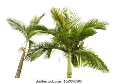 Two plam trees isolated on the white background,this view looks upward from land.