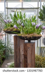 Two planters with purple crocus flowers in a green house.