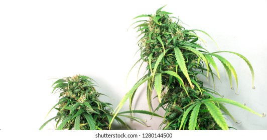 Two plants of organic medicinal cannabis sativa isolated.