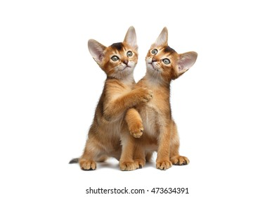 Two Playful Abyssinian Kitten Sits and Playing with each other on Isolated White Background, Front view, Baby Cat