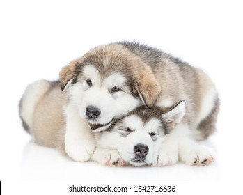 Two playful alaskan malamute puppies look at camera. isolated on white background
