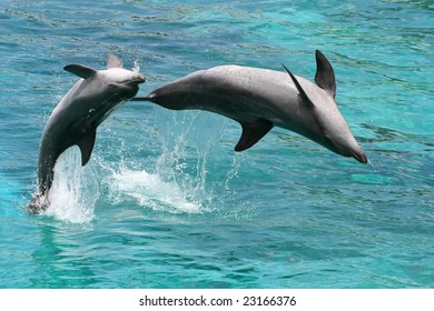 Two playful bottlenose dolphins leaping out of the water