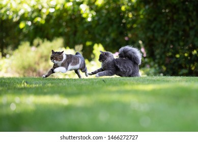 two playful cats chasing each other in the garden on a sunny summer day. the cat on the left is a tabby white british shorthair cat, the other is a blue tabby maine coon