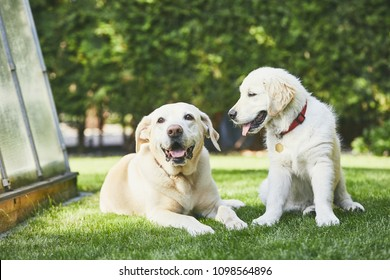 Two playful dogs on garden. Happy old labrador retriver and puppy of golden retriver enjoy together sunny day.