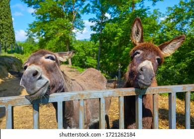 Zwei verspielte Esel auf einem Bauernhof in der Toskana, Italien.