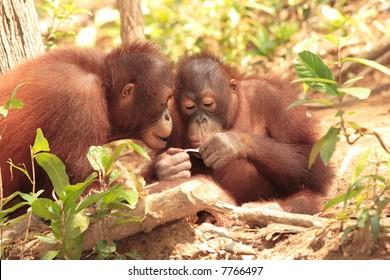 Two playful young Orang-Utan