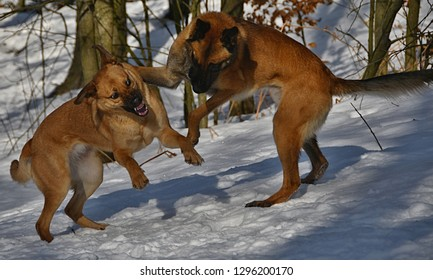 Two playing dogs in snow