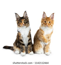 Two playing Maine Coon cat kittens sitting up, one  with one paw in air, both looking straight in camera isolated on white background