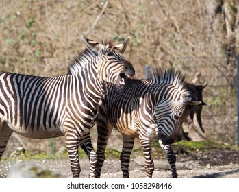 two playing zebras