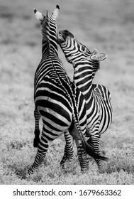 Two Playing Zebras Tanzania Serengeti