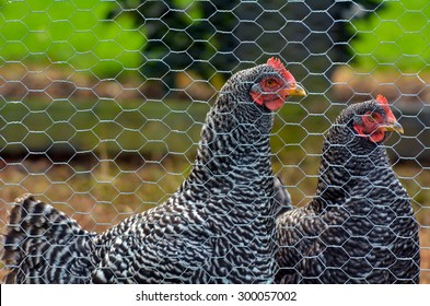 Two Plymouth Rock chicken in a hen house. No people. Copy space