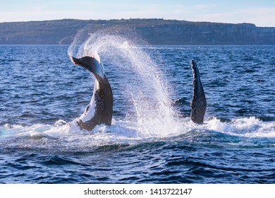 A two pod humpback whales tail and pectoral slapping on the northern migration, Sydney, Australia