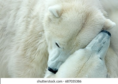 Two polar bears fighting on drifting ice in Arctic Svalbard. Detail of fight. Big dangerous animals from Arctic. Two heads of bears. Funny image from nature.