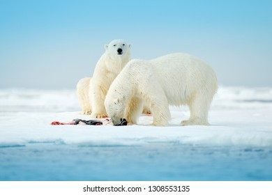 Two polar bears with killed seal. White bear feeding on drift ice with snow, Svalbard, Norway. Bloody nature with animals. Dangerous animal carcass of seal. Arctic wildlife, animal feeding behaviour.
