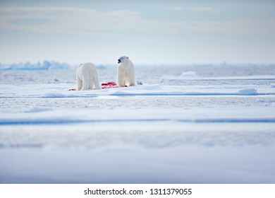 Two polar bears with killed seal. White bear feeding on drift ice with snow, Russia. Bloody nature with big animals. Dangerous animal with carcass of seal. Arctic wildlife, animal feeding behaviour.