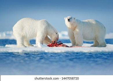 Two polar bears with killed seal. White bear feeding on drift ice with snow, Manitoba, Canada. Bloody nature with big animals. Dangerous baer with carcass. Arctic wildlife, animal food behaviour.