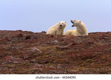 Two polar bears on rocky hill.  Horizontally framed shot.