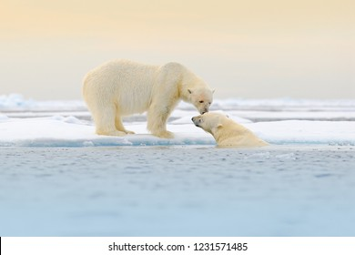 Two Polar bears playing on drifting ice with snow, white animals in the nature habitat, Svalbard, Norway. Two animals playing in snow, Arctic wildlife. Funny image from nature.