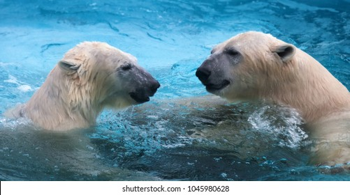 Two polar bears playing in water. This marine bear is excellent swimmer (hundreds of miles without rest) and dives into cold water of zero degrees