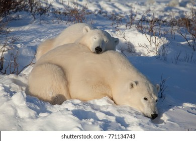 Two Polar Bears are sleeping in the Sun