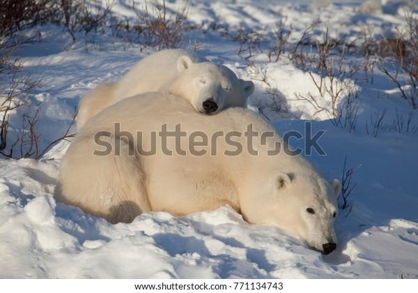 Two Polar Bears are sleeping in the Sun