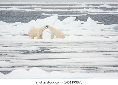 Two Polar bears (Ursus maritimus) fighting on sea ice.