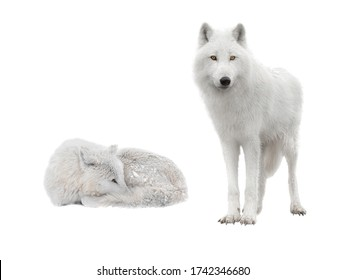 two polar wolf lies in snowy weather on a white background