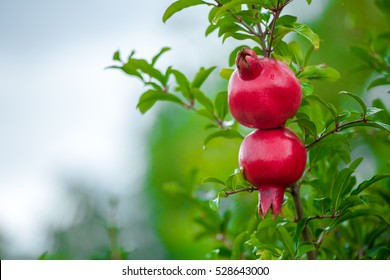 Two pomegranate fruit growing on a green branch